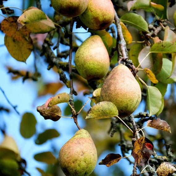 Plantez un arbre fruitier